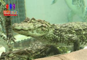伊豆の熱川バナナワニ園の動画