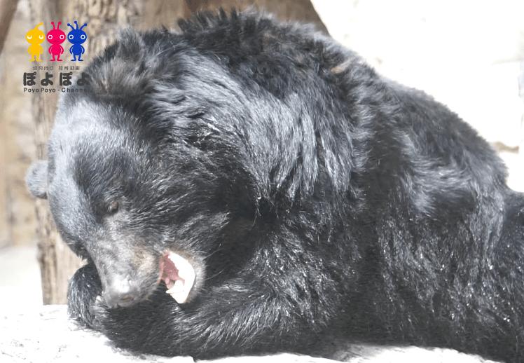 上野動物園の熊